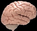 schaalmodel van de hersenen